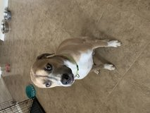 Dog for re-home in Fort Sam Houston, Texas