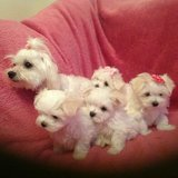 Maltese puppies for sale in Cleveland, Ohio