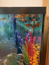 Platy Fish for Free! in Naperville, Illinois