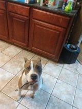 2year old Colby Pit in Beaufort, South Carolina