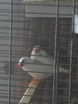 White zebra finches + new cage ,birdseed in St. Charles, Illinois