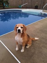 Beagle - Full Blooded with exellent pedigree in Camp Lejeune, North Carolina