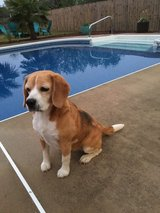 Abby- Full blooded Beagle in Camp Lejeune, North Carolina