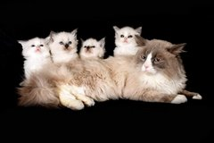 xjpbgn#Tag Ragdoll kittens available for adoption in Camp Pendleton, California