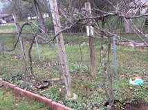 MATURE MUSCADINE VINES in Fort Campbell, Kentucky