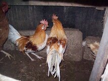 ROOSTERS in Ramstein, Germany