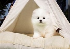 vfj=Pomeranian babies for re homing/we have males and females in The Woodlands, Texas