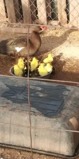 SOLD  Muscovy ducklings 3 days old in Alamogordo, New Mexico