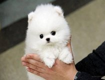 Smail Pomeranians available. 1 female, 1 male in Fort Sam Houston, Texas