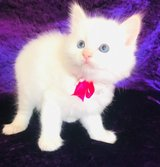 **** Registered Ragdoll Kittens -just three Left ($350) (text us only 9842074.6.51 ) in Naperville, Illinois