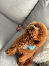 Rehoming Toy Poodle in Okinawa, Japan