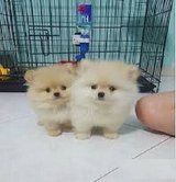 tv--Pomeranians, 12 weeks old. Extremely beautiful girls and boys. in Pasadena, Texas