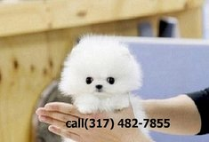 je Excellent Male And Female Pomeranian pups in Pasadena, Texas