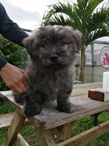 Puppies available for adoption in Okinawa, Japan