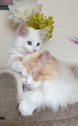 #Ragdoll Kittens *champion Lines* All ready to be welcome in their new homes in Great Lakes, Illinois