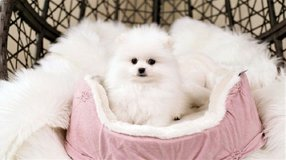 entile And Nice Pomeranians For Sale. in Rolla, Missouri