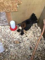 Hen with baby chicks in Macon, Georgia