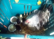 Mother Bantam and her Chicks for sale in Lakenheath, UK