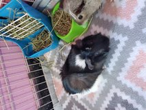 Guinepig girls with cage need them gone asap in Tacoma, Washington