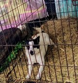 Aggressive rat terrier mix male in Conroe, Texas