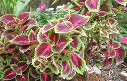 I looking for a Buntnessel /Coleus in Ramstein, Germany