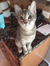 Grey Tabby Missing - Oakhurst at Kingwood in The Woodlands, Texas