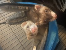 2 male ferrets in Fort Campbell, Kentucky