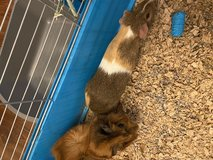 Abyssinian an American guinea pigs in Fort Campbell, Kentucky
