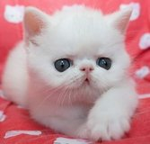 Adorable Persian kittens in MacDill AFB, FL