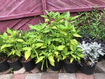 many varities of plants for sale in Hinesville, Georgia