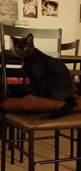 black male cat in Fort Campbell, Kentucky