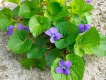 Sweet Wild Purple Violets, 5 Live Plants, Perennial, in Batavia, Illinois
