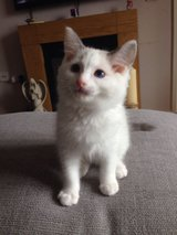 Lovely Ragdoll Kittens For Any Good Home in Grafenwoehr, GE