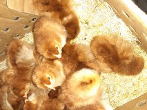 Chick special 4.00 and up.have bunnies too in Fort Leonard Wood, Missouri