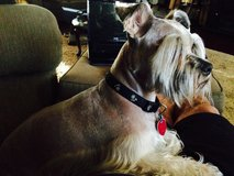 Looking for a schnauzer in Leesville, Louisiana