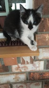 Free Kittens to a Good Home in Alamogordo, New Mexico