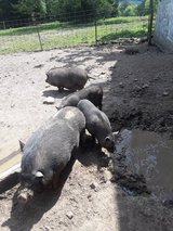 Pot belly pigs for sale-Reduced in Fort Leonard Wood, Missouri