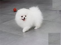 Breath Taking Pomeranian Puppies in Bellaire, Texas