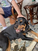 Beautiful Rottweiler to a good home in Okinawa, Japan