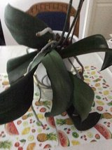 House plants. Orchids, large mature x2 + care accessories in Baumholder, GE