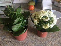 2 kalanchoe - 1 red * 1 white in Ramstein, Germany