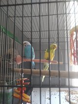 Parakeets and cage and French/cage in Fort Leonard Wood, Missouri