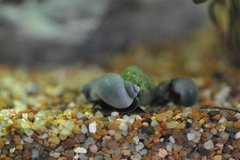 mystery snails in Camp Lejeune, North Carolina
