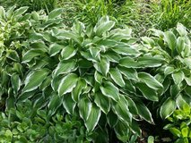 Hostas - varigated in Wheaton, Illinois