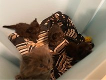 rehoming kittens to a good home in Cherry Point, North Carolina