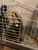 Ferret in Tacoma, Washington