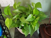 Large Pothos Plant in Fort Campbell, Kentucky