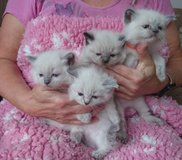 Registered Health Tested Ragdoll Kittens in The Woodlands, Texas
