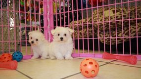 beautiful Maltese puppies in Cary, North Carolina