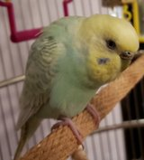 Big Reward! Please help me find my Parakeet in Chicago, Illinois